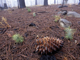 Jeffrey Pine Seedlings and a Burned Cone (Pinus Jeffreyi) Forest Fire Recovery