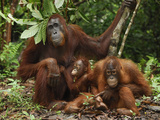 Borneo Orangutan Family with a Baby (Pongo Pygmaeus) Tanjung Puting National Park  Kalimantan