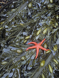 Blood Star  Henricia Leviuscula  on Brown Algae  Egregia Menziesii  in a Tide Pool