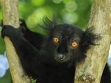 Male Black Lemur Face (Eulemur Macaco Macaco) Lokobe Nature Special Reserve  Northern Madagascar
