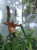 Cloud Forest with Bromeliad  Chirripo National Park  Costa Rica