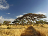 Primitive Dirt Roadway and Acacia Trees in Late Afternoon Light  Tarangire National Park  Tanzania