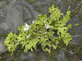 Lungwort (Lobaria Oregana) Common Foliose Lichen Which Grows High on Trees