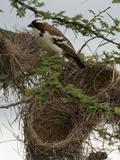 White-Browed Sparrow-Weaver (Plocepasser Mahali) Building Nest in Tree  Samburu Game Reserve
