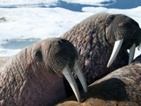 Walrus (Odobenus Rosmarus Rosmarus) on Pack Ice to Rest and Sunbathe
