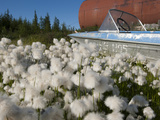 Cottongrass (Eriophorum Callitrix) Grows Alongside an Abandoned Boat and Storage Tank  Siberia