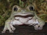 White's Dumpy Frog  Litoria Caerulea  Captive