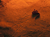 Sidewinder Rattlesnake (Crotalus Cerastes)  Side-Winding Locomotion across a Sand Dune at Sunset
