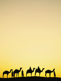 Camels and Camel Drivers Silhouetted at Sunset  Thar Desert  Udaipur  India