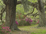 Live Oak Trees Above Azaleas in Bloom  Magnolia Plantation  Near Charleston  South Carolina