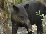 Baird's Tapir (Tapirus Bairdii)  Belize
