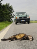 A European Polecat (Mustela Putorius) Killed on a Road  Europe