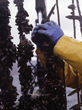 Aquaculture Marine Harvest Farming  Blue Mussels (Mytilus Edulis)