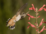 Rufous Hummingbird Female (Selasphorus Rufus) Feeding at a Salvia Flower  Scarlet Spires Variety