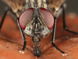 Fly Head Showing Mouthparts and Compound Eyes While it Eats Fruit