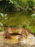 Freshwater Crab (Potamon Fluviatilis) in Habitat