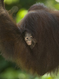 Young Orangutan Cuddled in the Fur of a Parent (Pongo Pygmaeus)