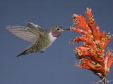 Broad-Tailed Hummingbird Male (Selasphorus Platycercus) Feeding at the Red Tubular Flowers