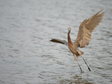 Reddish Egret Taking Off from the Water  Egretta Rufescens  Southern USA