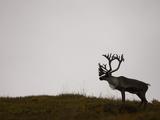 Barren-Ground Caribou (Rangifer Tarandus Groenlandicus) on the Tundra of Denali National Park  USA