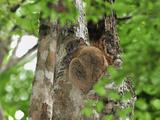 Ankarana Sportive Lemur (Lepilemur Ankaranensis)  Ankarana National Park  Northern Madagascar