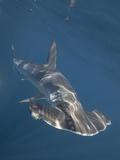 Smooth Hammerhead Shark (Sphyrna Zygaena)  Sea of Cortez  La Paz  Baja California  Mexico