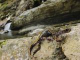 A Cave Salamander (Speleomantes Strinatii)  Italy