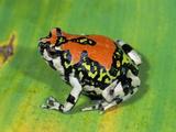 Red Rain Frog (Scaphiophryne Gottlebei)  Isalo National Park  Madagascar
