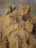 Common Dwarf Mongoose (Helogale Parvula) on a Termite Mound  Samburu Game Reserve  Kenya  Africa