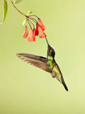 Magnificent Hummingbird Nectaring at a Red Tubular Flower (Eugenes Fulgens)  Costa Rica