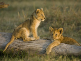 African Lion Cubs Resting on a Log (Panthera Leo)  Masai Mara  Kenya