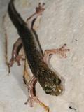 Supramonte Cave Salamander (Speleomantes Supramontis in a Cave  Endemic to Sardinia  Italy
