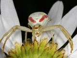White and Red Crab Spider on the Underside of a Flower