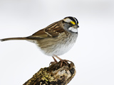 White-Crowned Sparrow Adult Male (Zonotrichia Leucophrys)  New York  USA
