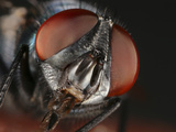 Bottle Fly (Lucilia Phaenicia) Showing the Mouth Parts and Compound Eyes