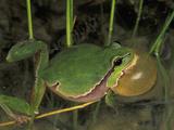 Male European Treefrog Calling (Hyla Arborea)  Switzerland