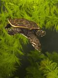 Florida Softshell Turtle (Apalone Ferox) Young Swimming  Pennsylvania