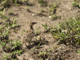 Double-Banded Courser Chick (Rhinoptilus Africanus)  Serengeti National Park  Tanzania