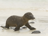 Galapagos Sea Lion Pup 4 Days Old  Zalophus Californianus  Santiago Island  Galapagos Islands