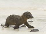 Galapagos Sea Lion Pup 4 Days Old  Zalophus Californianus  Santiago Island  Galapagos Islands