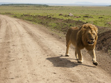 African Lion Walking Along a Dirt Road on the Savanna (Panthera Leo)  Masai Mara  Kenya