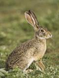 African Savanna Hare (Lepus Microtis) in the Masai Mara Game Reserve  Kenya