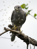 Grey Kestrel (Falco Ardosiaceus) Perched and Eating Termites as They Fly About  Masai Mara  Kenya