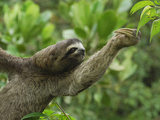 Brown-Throated Three-Toed Sloth (Bradypus Variegatus)  Amacayacu National Park  Colombia