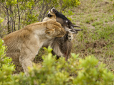 African Lion with Wildebeest Prey (Panthera Leo)  Masai Mara  Kenya
