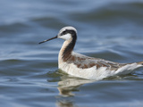 Wilson's Phalarope Adult Female in Breeding Plumage Swimming (Phalaropus Tricolor)  Willcox  USA