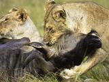 African Lions Eating Fresh Kill (Panthera Leo)  Masai Mara  Kenya