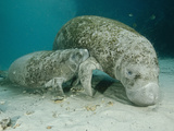 Female American Manatee (Trichechus Manatus) Nurses Her Calf  Crystal River  Three Sisters Reserve