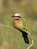 White-Fronted Bee-Eater (Merops Bullockoides)  Kenya
