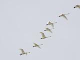 Tundra Swans in Flight (Olor Columbianus)  Montana  USA